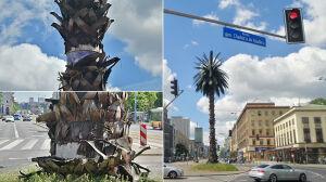 Półtora roku po remoncie, a z palmy znów odchodzi kora