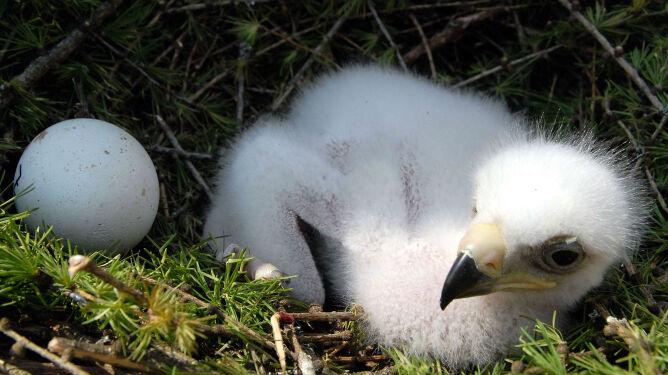 Pisklę i jajo orła przedniego w gnieździe. Fot. Johann Jaritz/Wikipedia (CC BY-SA 3.0)
