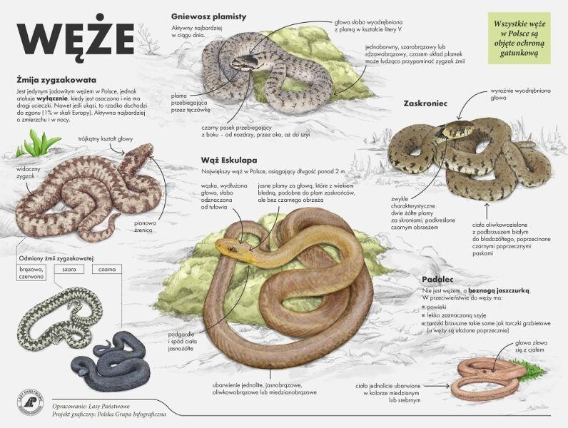 Gatunki węży w Polsce (Lasy Państwowe)