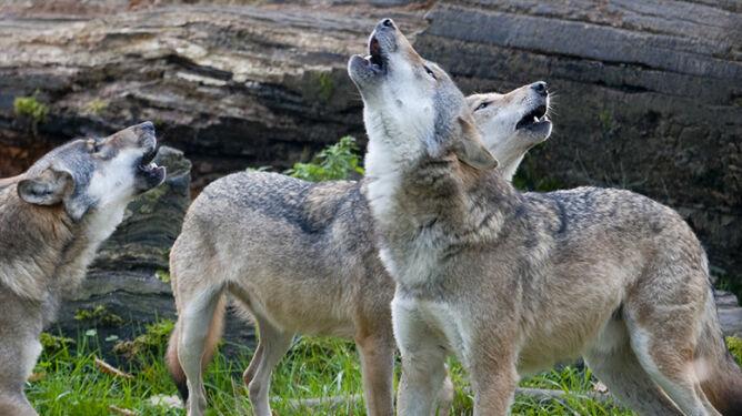 Wilki w Karkonoszach. <br />Nie widziano ich tam od wielu lat
