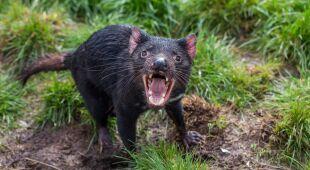 Diabły tasmańskie wróciły do kontynentalnej części Australii