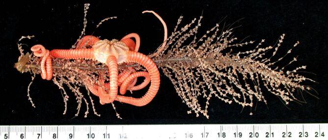 Wężowidła (Gorgonocephalidae sp) u wybrzeży Tasmanii (CSIRO)