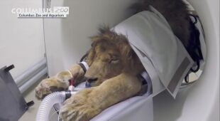 Lew Tomo został poddany badaniu tomografem